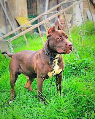 pitbull Dog photo