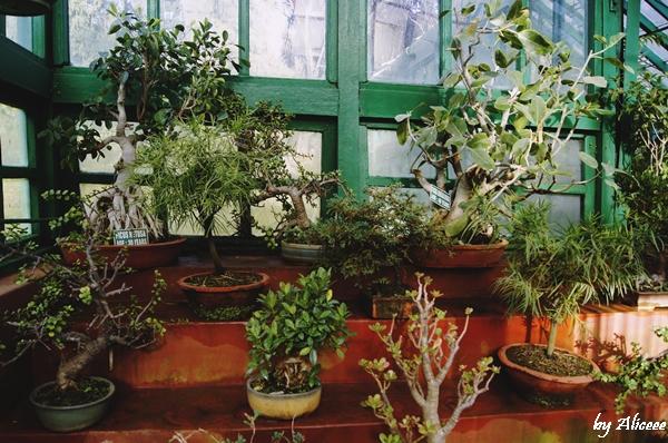 bonsai-gradina-botanica-Ooty