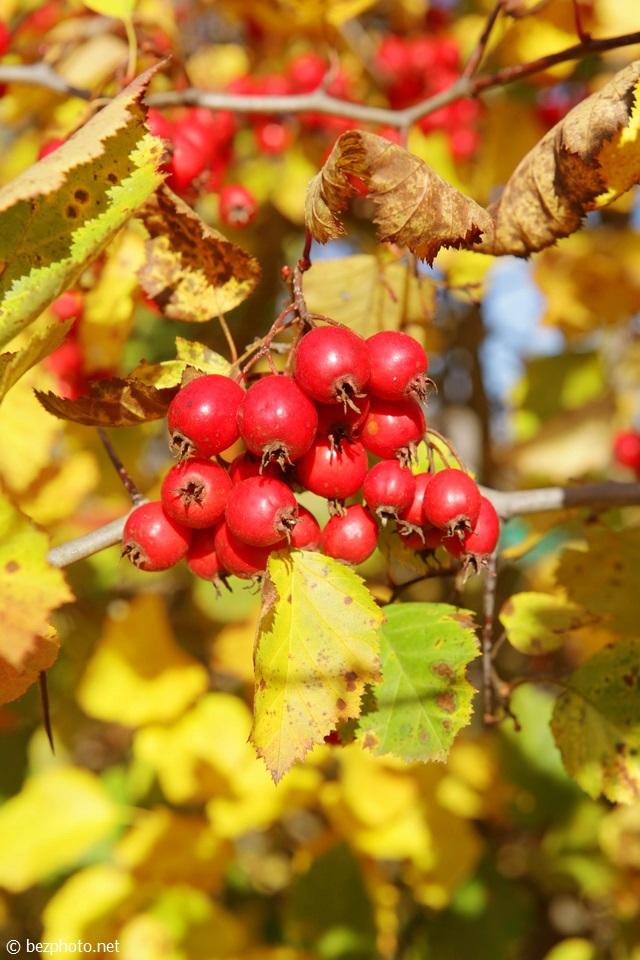 боярышник осенью фото