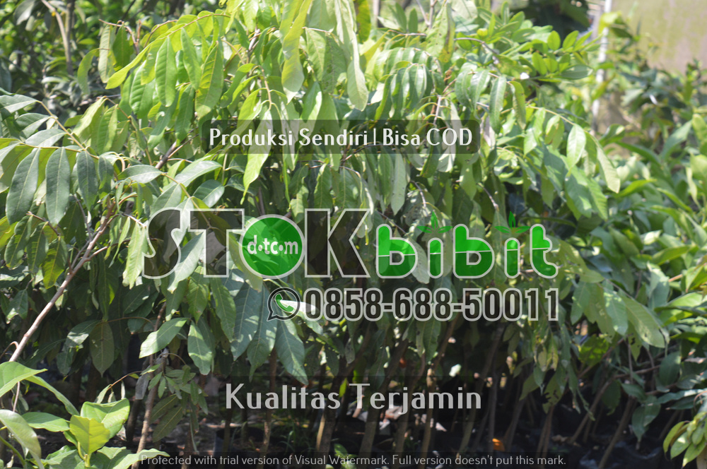 Benih Mahoni Bersertifikat dan Biji Mahoni Untuk Herbal    berkualitas     berkualitas