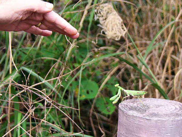 hand, praying mantis, fencepost