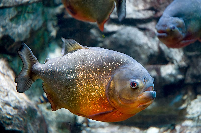 Red-bellied Piranha, Pygocentrus nattereri, invasive fishes, alien fishes, exotic fishes in india, invasive fishes andhra pradesh, andhra pradesh fish