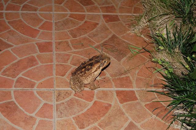 Гигантская жаба на Филиппинах