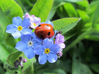 Ladybird on a blue flower in the garden