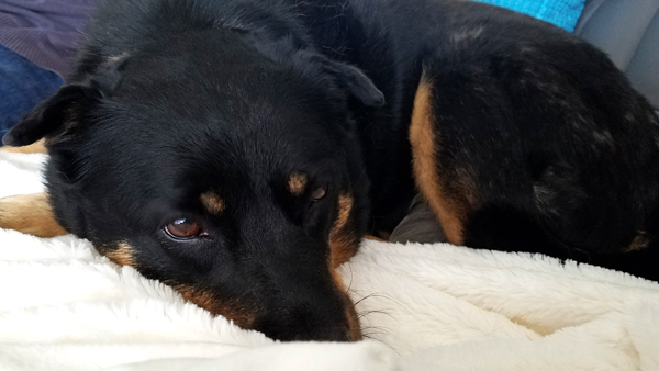 image of Zelda the Black and Tan Mutt curled up with her nose in a blanket on the couch