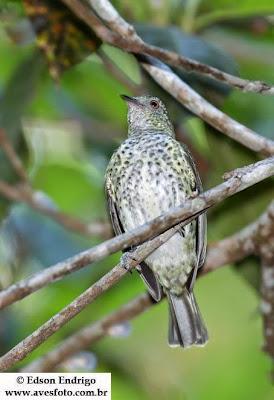Picoagudo, Oxyruncus cristatus