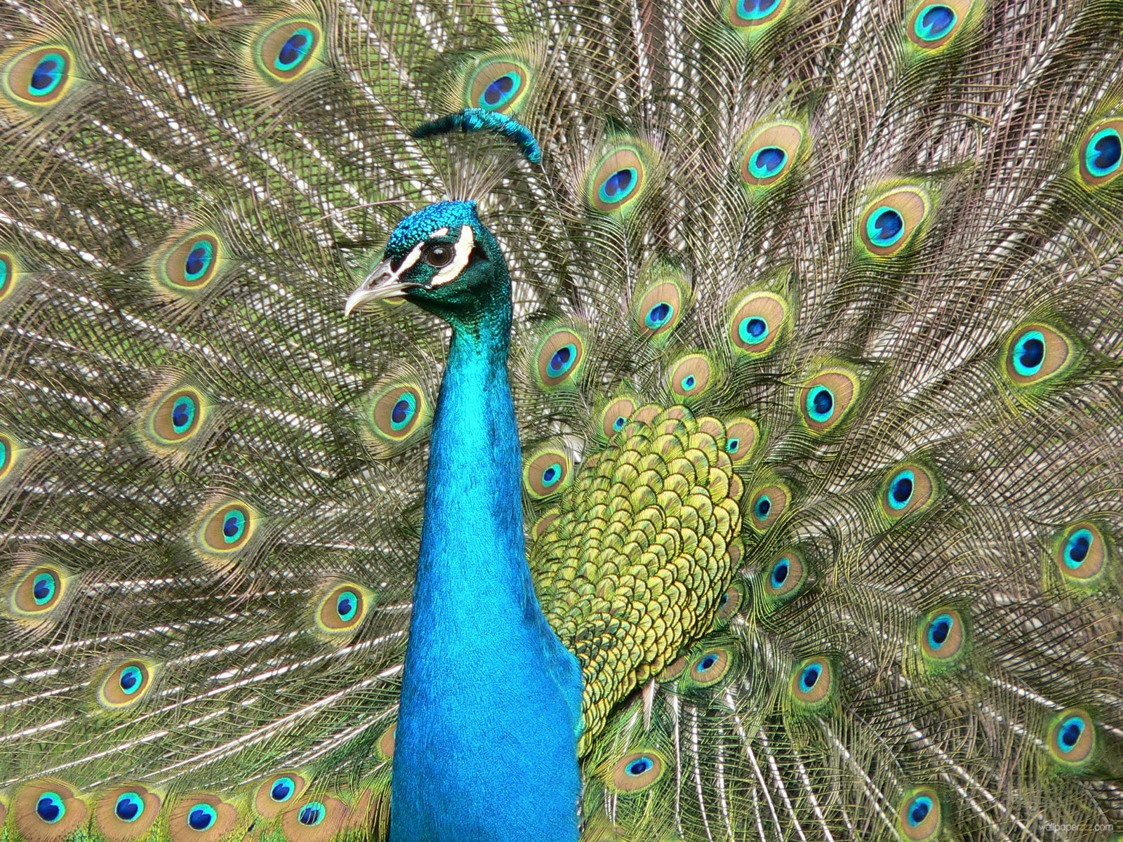 Beautiful Peacock Wallpapers Free Download