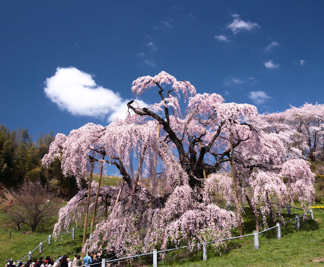 Know your sakura: Japan's three best cherry blossom trees #pink #cherry #blossom #Japan