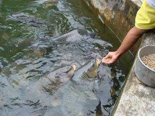 Umpan-Ikan-Mas-Air-Hijau-Bening