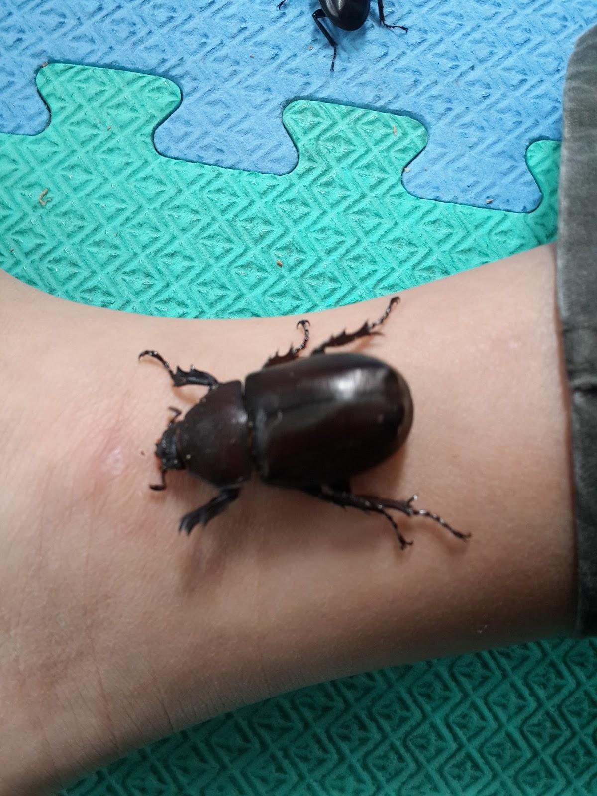 甲蟲王者: 世界上最大隻的甲蟲【赫克力士長戟大兜蟲】