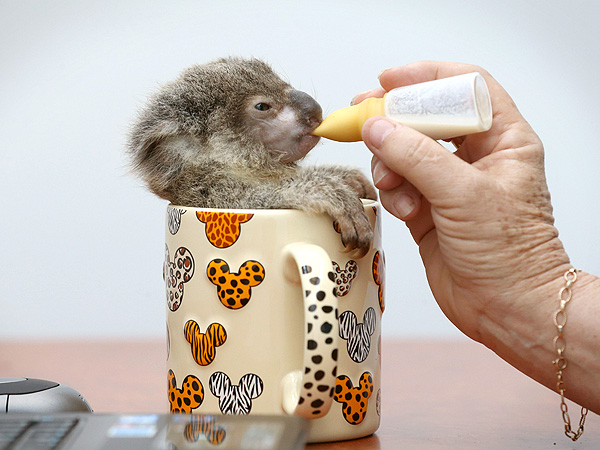 Baby Animals: Tiny koala