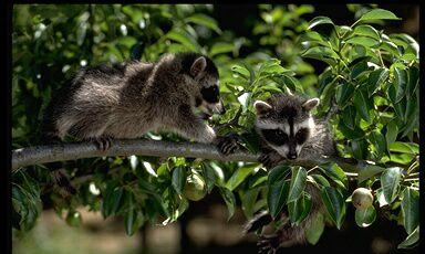 Raccoons   Fun Animals Wiki, Videos, Pictures, Stories Raccoon With No Hair