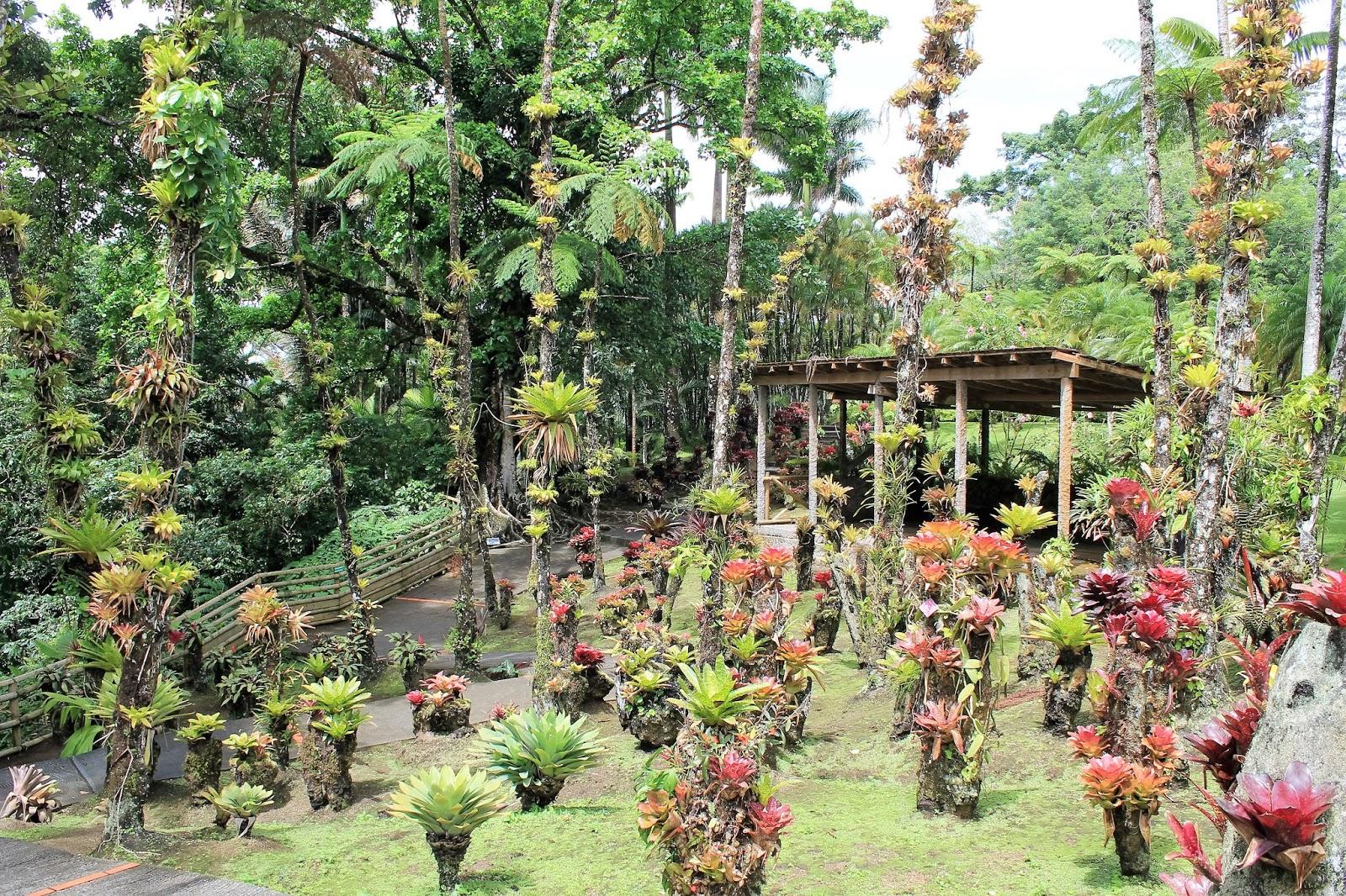 jardin balata martinique arbre ananas