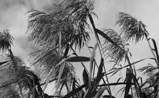 Penyerbukan dengan bantuan angin