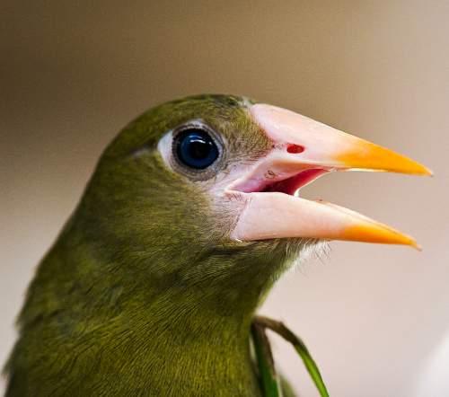 Green oropendola - Psarocolius viridis