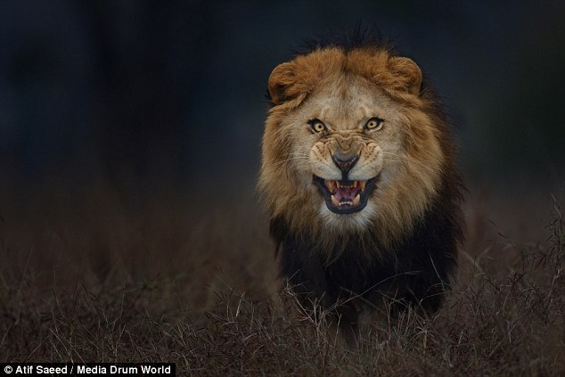 Unbelievable Shot Shows Lion Milliseconds From Attacking Photographer