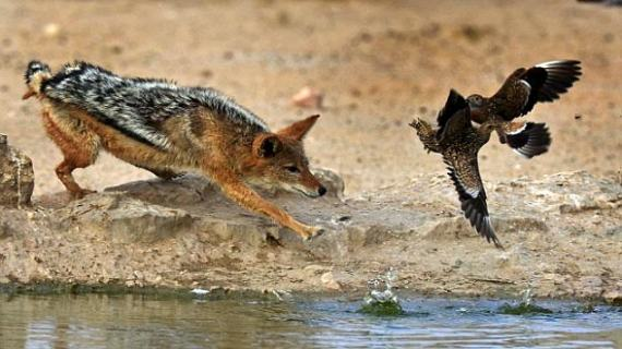 Pictures from African waterhole shows how a predator repeatedly misses killing its prey