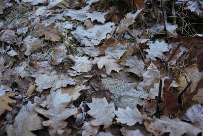 liście pokryte szronem