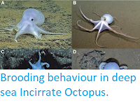 http://sciencythoughts.blogspot.co.uk/2016/12/brooding-behaviour-in-deep-sea.html