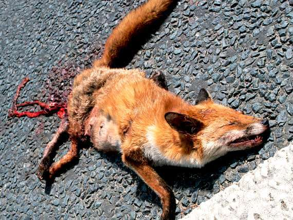 Roadkill fox on pavement, a van life feature