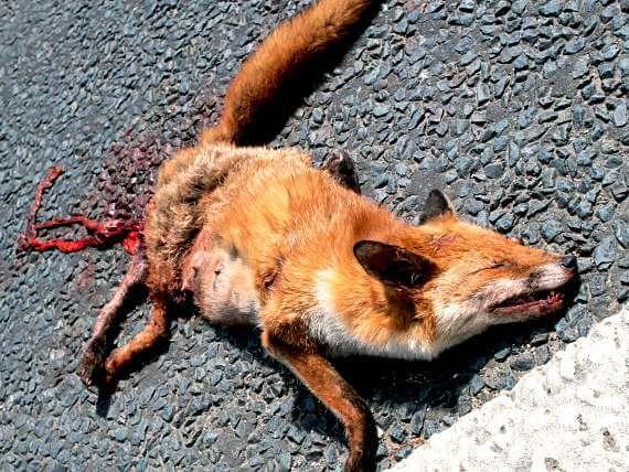 Roadkill fox on pavement, a van life feature