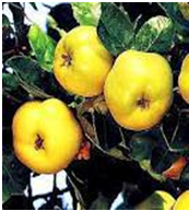 Quince Health Benefits Uses Cures in Ahadith