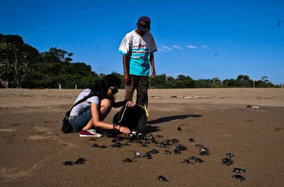 Release the turtles on Samas beach