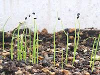 ネギの新芽