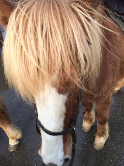 Viking horse Iceland