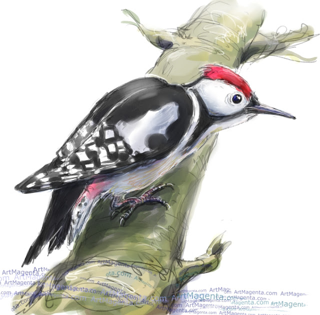 Middle spotted woodpecker sketch painting. Bird art drawing by illustrator Artmagenta