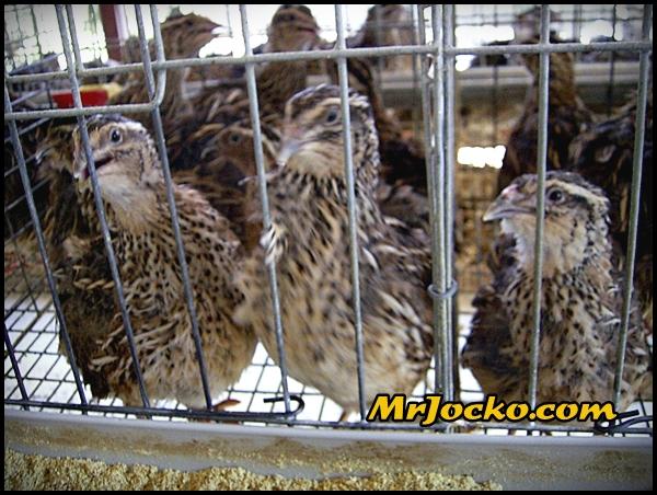 Daging Burung Puyuh Yang Sedap