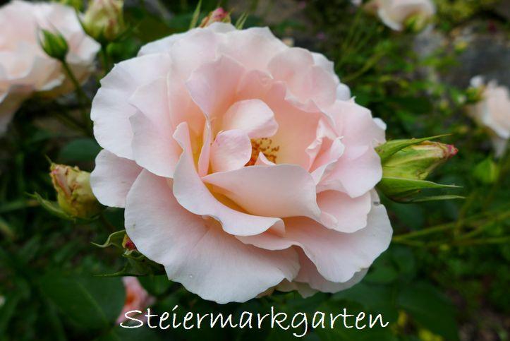 Rose-Rokoko-Steiermarkgarten
