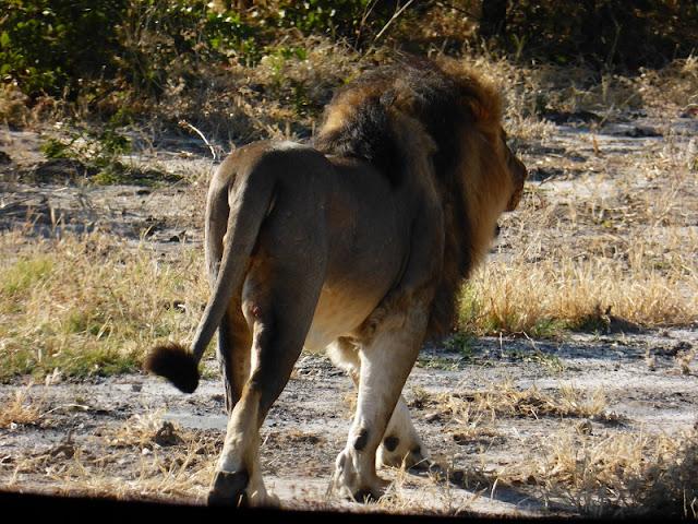 León de melena negra camino a Nata