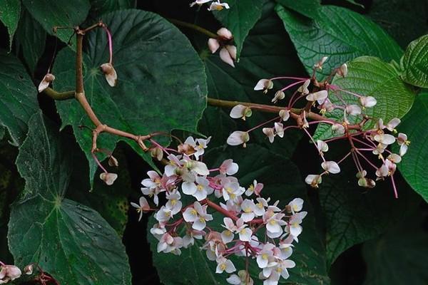 12 Manfaat Daun Begonia Untuk Pengobatan Penyakit