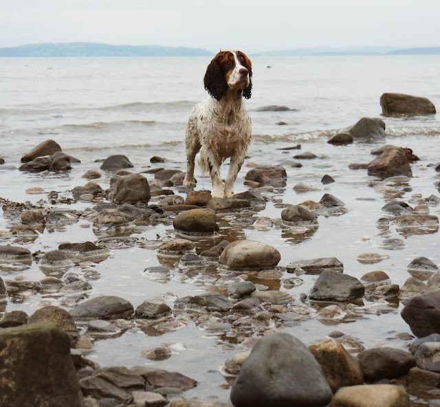 a wet white and brown spaniel stands on rocks in shallow water