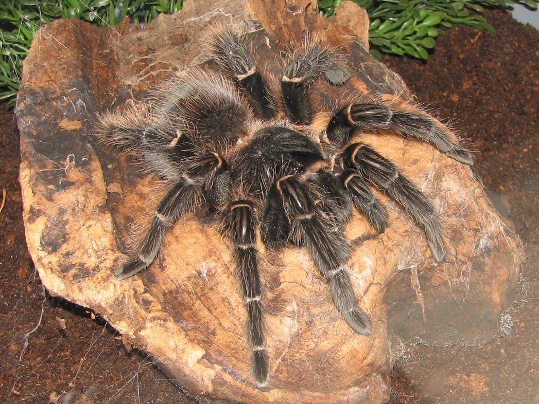 Popular Tarantula Species   Animals Library - photo#12