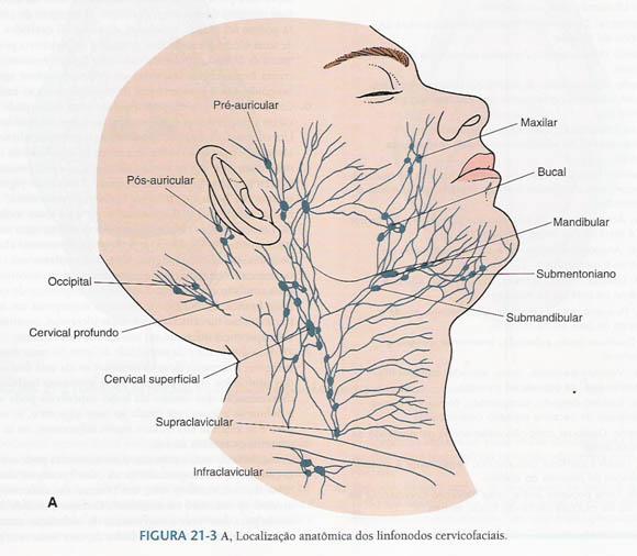 ANATOMIA DE LOS GANGLIOS LINFATICOS DEL CUELLO. | Dermocosmiatria