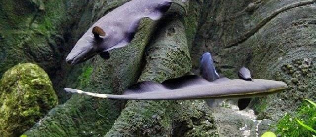 Budidaya Ikan Black Ghost dalam Kolam dan Akuarium