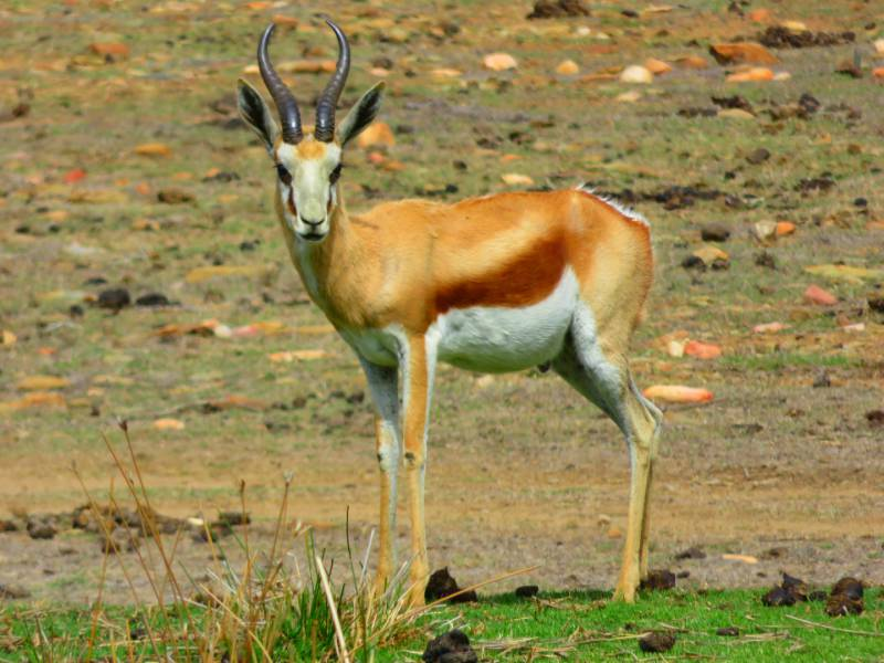 Springbok at Madi-Madi