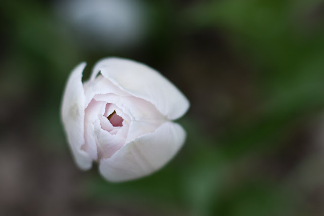 нежно-розовый тюльпан