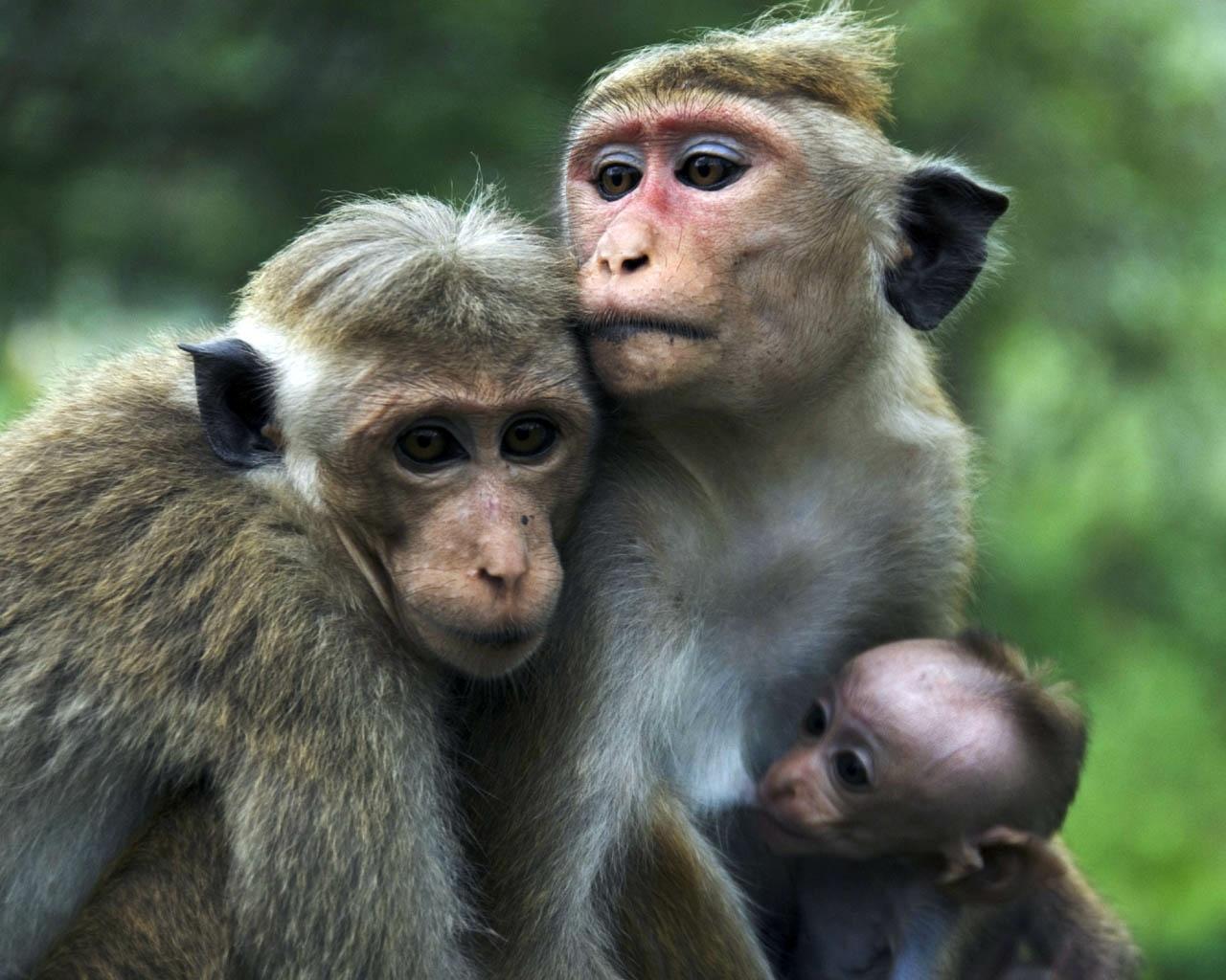 Gambar Monyet Dan Anaknya Animasi Kumpulan Gambar Kartun Monyet Yang Lucu Kolek Gambar