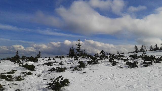 Kosówka w śniegu na szczycie Pilska