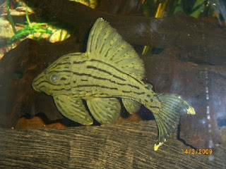 Jenis Ikan Sapu-Sapu Broken Line Royal Pleco