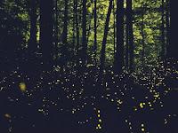 Misteri Ribuan Kunang-kunang Muncul di Hutan