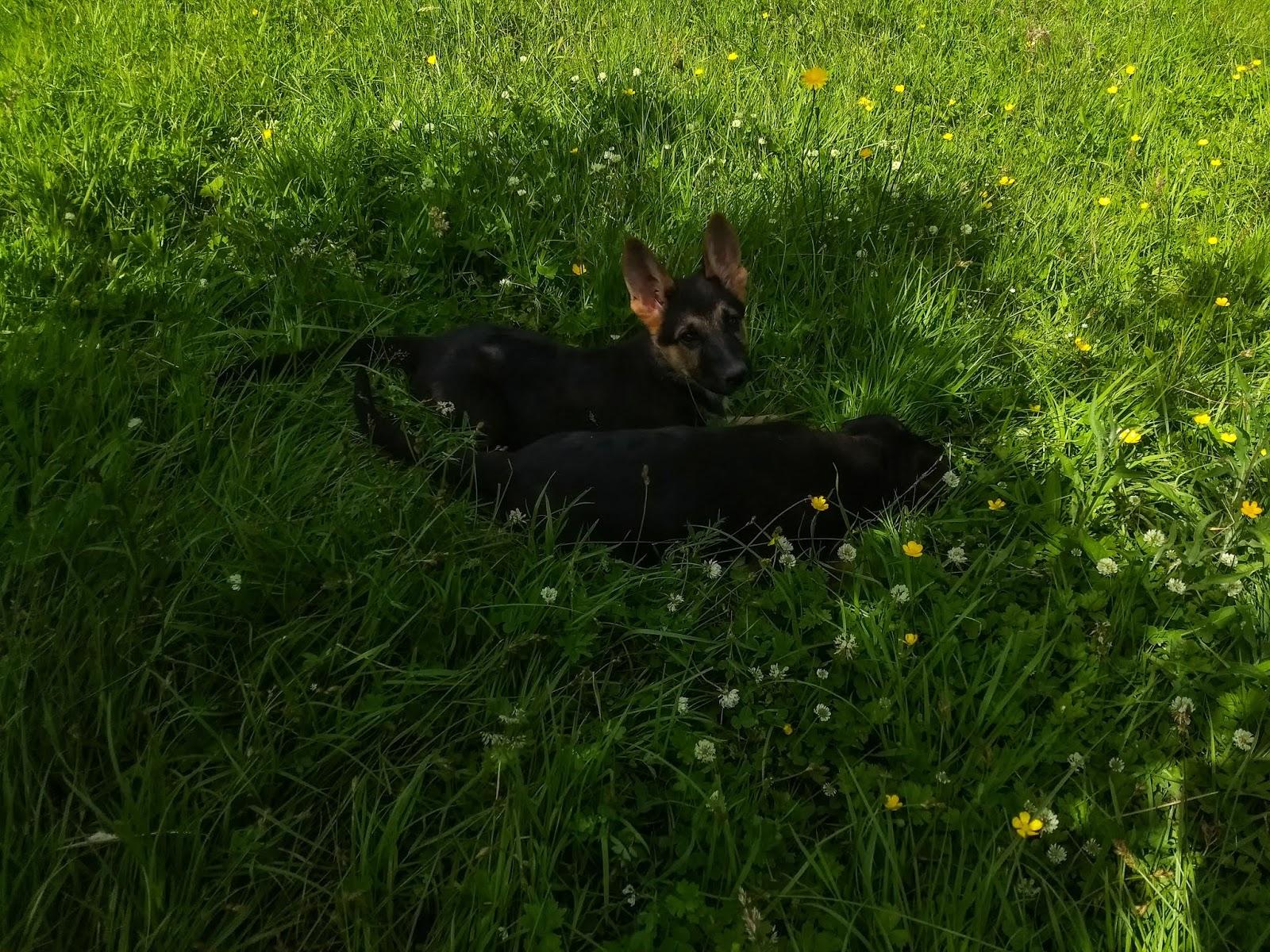 Two German Shepherd litter mates having an adventure in the grass.