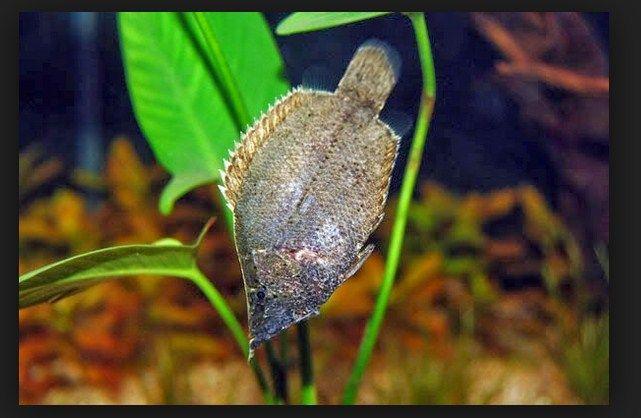 Ikan Daun