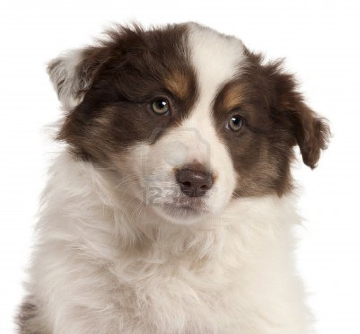 Cute Puppy Dogs Red Border Collie Puppies