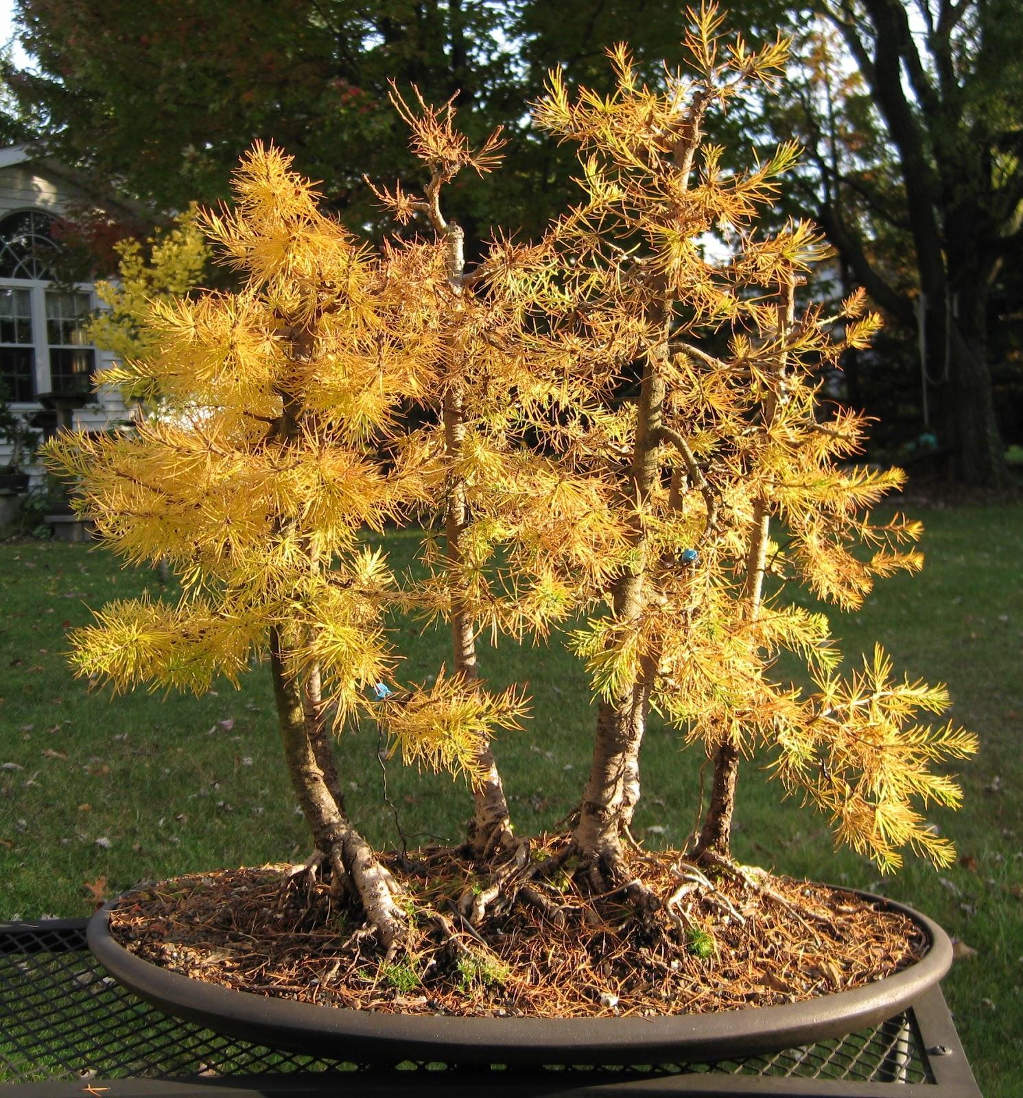 Bonsai Tree 17 Cozy American Larch Bonsai Photos