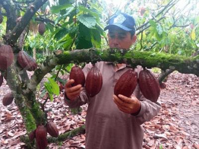 Perawatan Tanaman Kakao