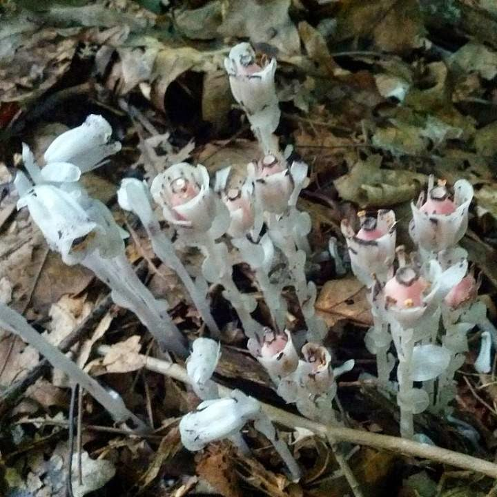 Ghost Plant Pictures